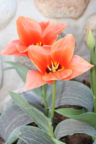 tulipsagainststonewall2